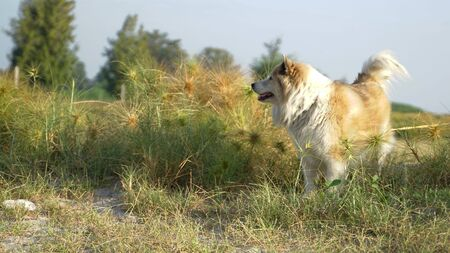 Large mixed breed dog standing in the  grass field with morning sunlight looking outdoor