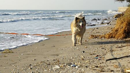 Large mixed breed dog walking on the beach with morning sunlight and ocean background Фото со стока
