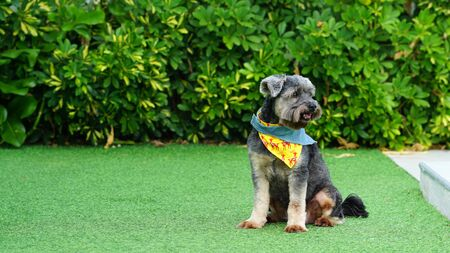 Black color mixed breed dog with colorful bandanas on the floor with green background Фото со стока