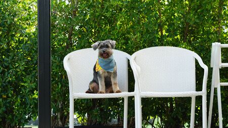 Black small mixed breed dog sitting on the white wicker chair smiling to the camera with planters background Фото со стока