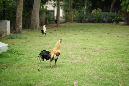 Rooster standing on the lawn with green grass background outdoor