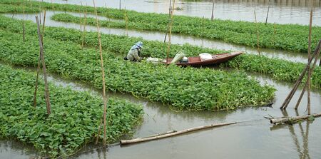 Agriculturist sitting on the boat harvesting morning glory vegetable feild on the water in Thailand 版權商用圖片