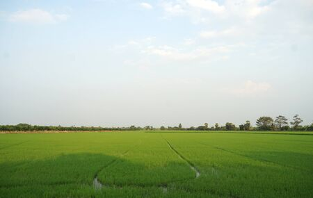 Beautiful green rice field with sky background in the suburb of Bangkok