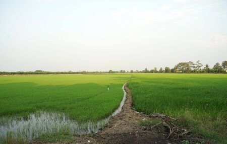Beautiful green rice field with sky background in the suburb of Bangkok, Thailand 版權商用圖片