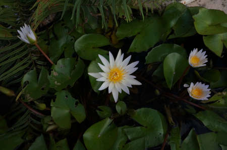 Water Lily in the evening full of leaves blooming in a pond Stock Photo