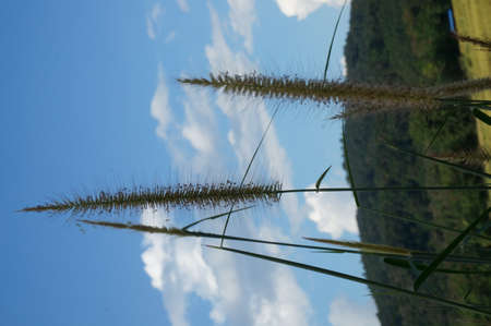 Marsh bristlegrass or Knotroot foxtail wildflower weed under the blue sky Stock Photo