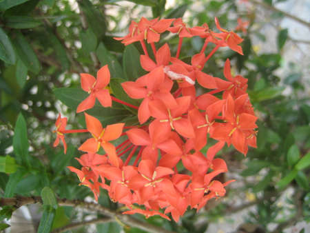Ixora flower or Red spike flower blooming and they leaves, Close up