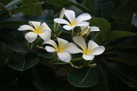 プルメリアの花と葉、クローズ アップ