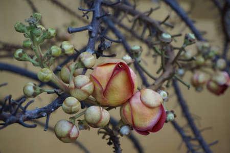 Canonball 花と彼らの芽葉をクローズ アップ 写真素材