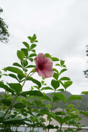 エレガントなピンク アラマンダ花と彼らの葉、クローズ アップ