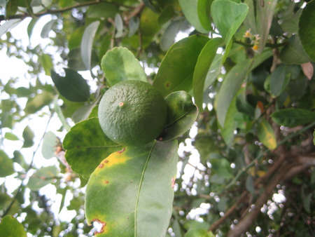 Close up of photo of a very fresh green lime on lime tree
