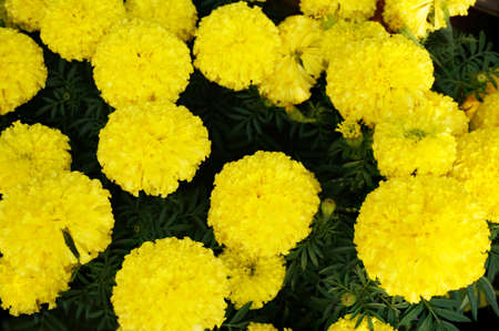 background of yellow marigold flowers ( Tagetes erecta ) bloom in the garden, Close up Stock Photo