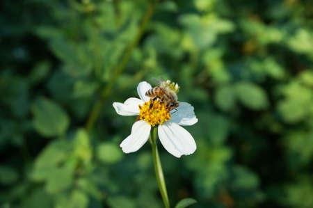 Gruppe Von Weed. Die Kleinen Weißen Blumen Spanischen Nadel Oder ...