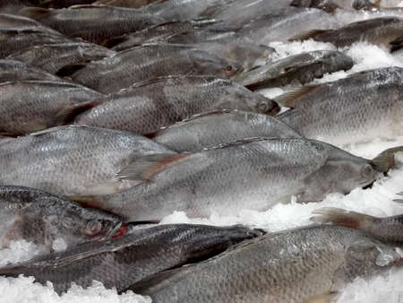 calcarifer: Fresh Giant Seaperch fishes ( barramundi, silver perch, white perch, Lates calcarifer ) on ice for sale in the fresh market Stock Photo