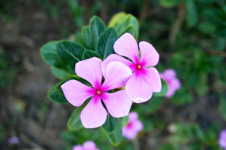 Photo of purple Vinca flowers ( Catharanthus roseus )and their leaves, Close up