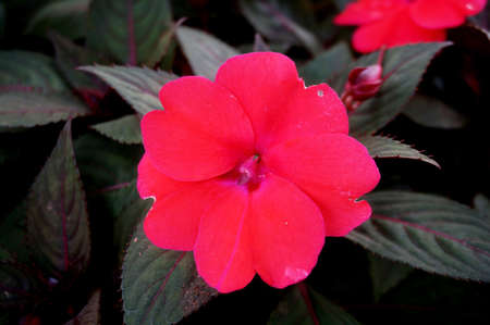Background of New Guinea Impatiens flowers ( Impatiens hawkeri w.bull., New Guinea Hybrids ) and their leaves, Close up