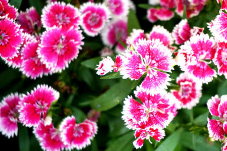 Pink Dianthus flower (Dianthus chinensis) or Rainbow Pink. Nature of colorful flowers in tropical natural field