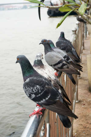 Pigeons, group of doves on railing in nature next to the river