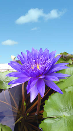 Beautiful violet - blue tropical Day Blooming waterlily ( nymphaea spp (hybrid) water lily ), also known as King of Siam Lotus in nature background.