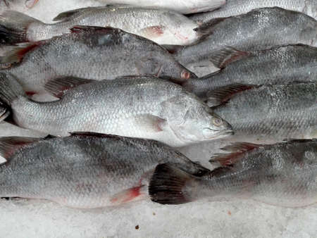 lates: A photo of fresh Giant Seaperch ( barramundi, silver perch, white perch, Lates calcarifer ) on ice for sale in the fresh market, close up