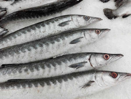 freshwater barracuda: Fresh raw Barracuda or Seapike fishes ( Sphyraena ) on ice for sale in the fresh market