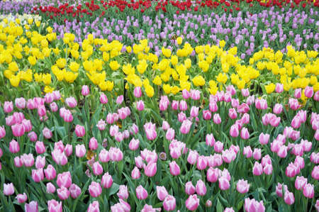 background of group of various color of tulips flowers background and green leaves, Close up