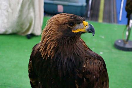A photo Golden eagle (Aquila chrysaetos) looking around on a mountain, natural background, close up