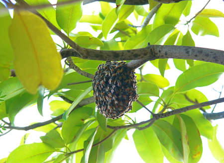 A photo of bees swarm on tree branches, bees are building a nest with swarming behavior into a colony on hive hanging on tree in nature, close up