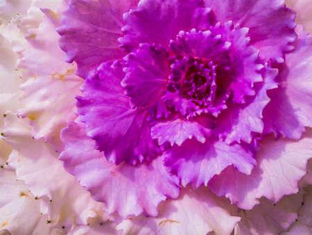 flowering kale: Ornamental Cabbage