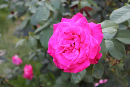 Bright pink rose with smaller pink roses in background
