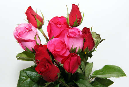 Red and pink roses and white background Stock Photo - 11880423