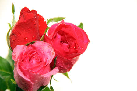Red and pink roses and white background