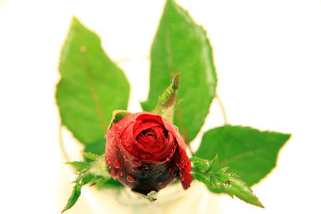 Red rose white background Stock Photo - 11880381