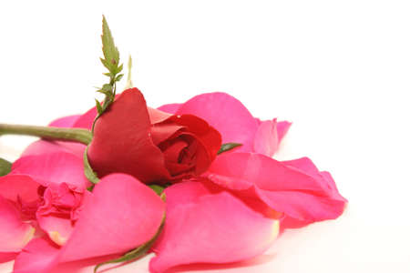 Red rose and white background Stock Photo - 11880377