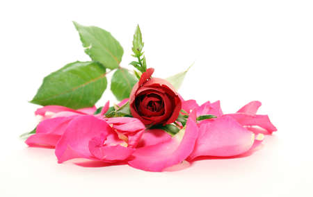Red rose and white background Stock Photo - 11880379