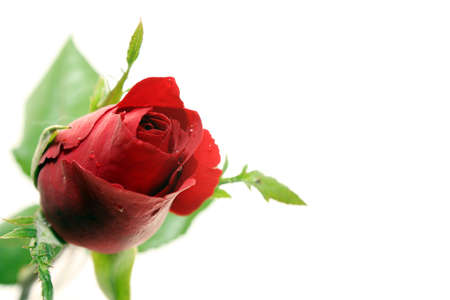 Red rose and white background