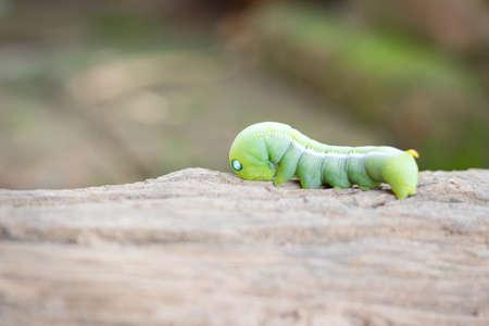 Caterpillars eat leaves