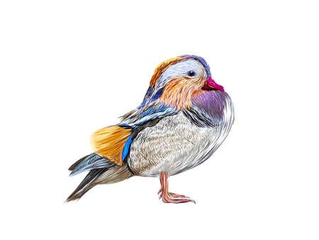 anatidae: Mandarin Duck filled with beautiful color