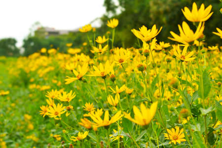 jerusalem artichokes sunflower in garden