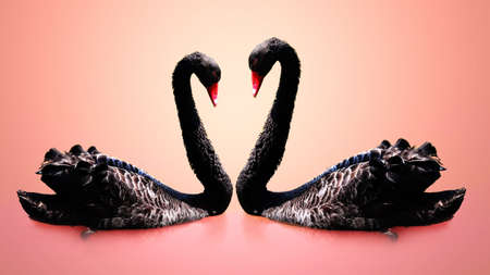 Couple of black swans are swimming with pink background photo