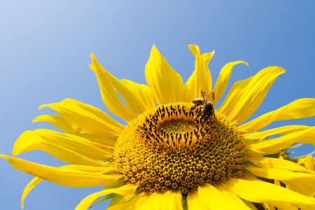 Sunflower and bee in the blue sky photo