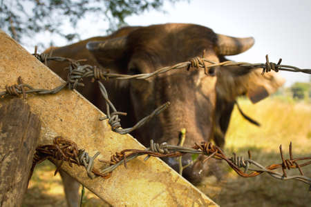imprisonment: Buffalo is imprisonment in the farm