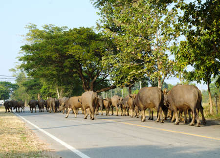 nam: many Buffalo walking on the street Stock Photo