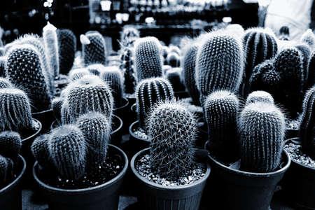 cactus species: Cactus en maceta y varias especies de cactus en macetas