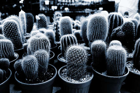 cactus species: Cactus in pot and Several species of cactus in pots