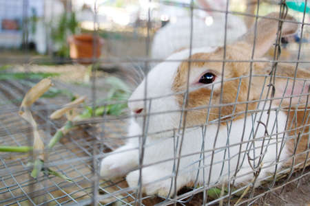 the hutch: White rabbit was placed in a cage.