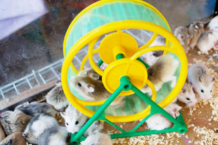 hamsters: many Hamster running on the wheel. Stock Photo