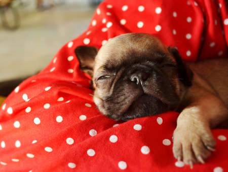 Pug puppy is sleeping on the bed Stock Photo