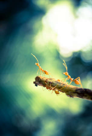 Orange ants on the leaf in nature. photo