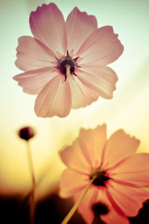 Cosmos flowers in Vintage and pastel style. photo